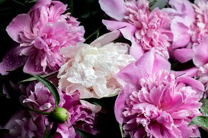 peonies with drops