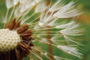 Dandelion Blown Away