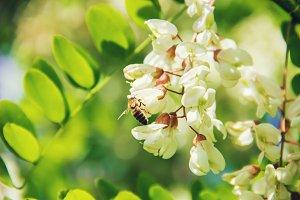 Acacia blooms. Nature.