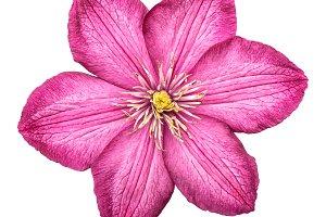 Clematis flower head