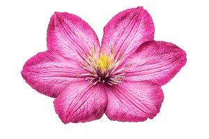 Clematis pink flower head
