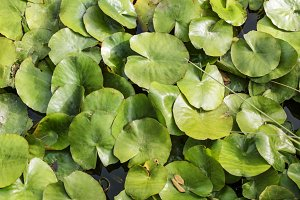 Water lily leaves floating