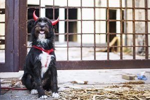 Funny black dog, disguised as devil.