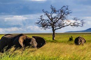 Elephant hiding in long grass