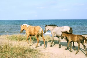 Wild horses on the shore