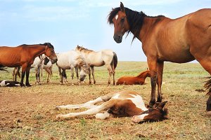 Herd of horses has a rest