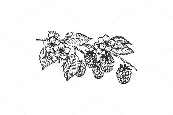 Raspberries branch engraving vector illustration
