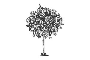 Rose bush engraving vector illustration