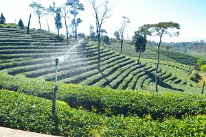 Tea Plantation planted on mountain