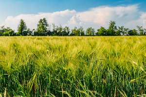 Golden unripe wheat field in rural Lombardy, Italy.