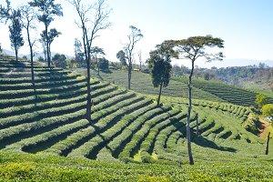 Tea Plantation planted on mountain