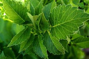Greenery in dahlia leaves