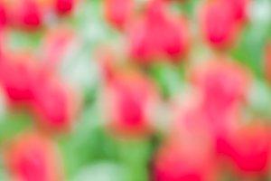Defocus of fresh colorful tulip