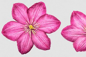 Clematis flower isolated PNG