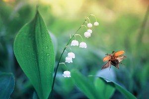 майский жук летит над ландышами