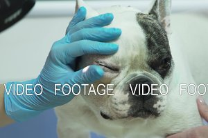 Veterinarian ophthalmologist examining eyes of dog.