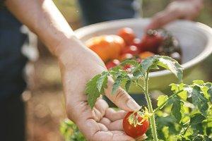 Farmer picking a fresh tomato