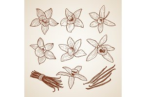 Biology illustrations. Aroma flowers of cinnamon
