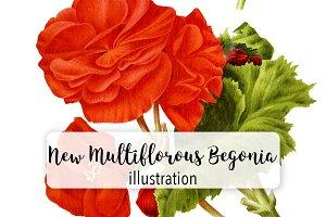 Flowers: Vintage New Begonia