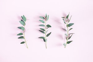Eucalyptus leaves on pink background