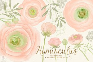 Watercolor ranunculus, blush pink