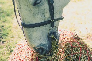 White hose eating hay