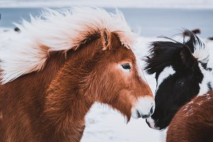 Colorful Icelandic Horses in Winter
