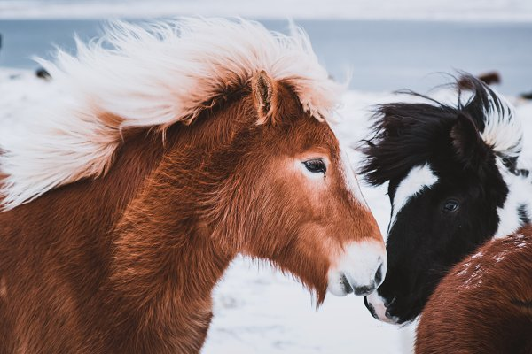 Animal Stock Photos: PhotoMarket - Colorful Icelandic Horses in Winter