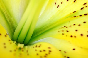 Yellow lily flower background.