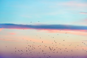 Flock of birds on sunset sky