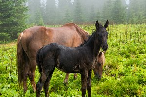 Black foal and horse