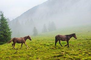 Two wild running horses