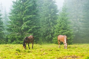 Two horses in misty forest