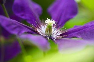Clematis flower. Soft focus.