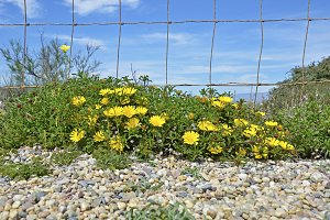 yellow daisies and fence