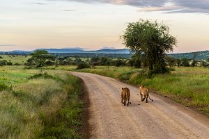 Lionesses Early morning stroll