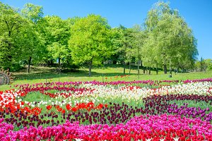 Field of tulips with many flowers