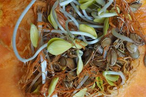 pumpkin seeds sprouts