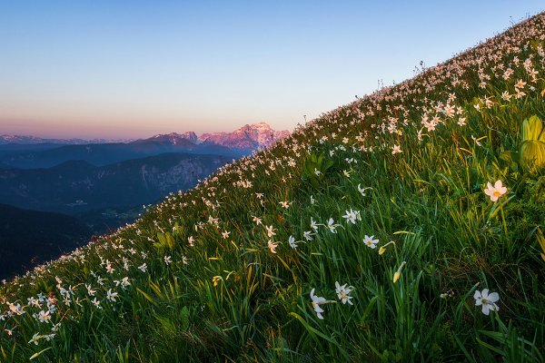 Nature Stock Photos: Dreamy Pixel - Daffodils in the mountains