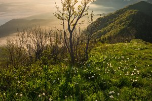 Daffodils in the mountains