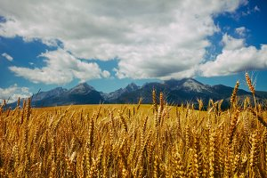 Golden field of ripe wheat in Tatras Mountains