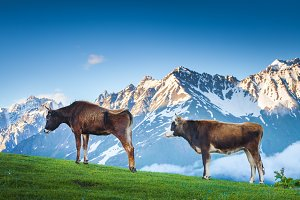 Two brown cows grazing on green mountain pastures