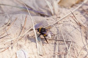 Bumblebee on the sand