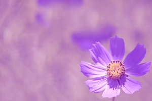 Single flower on a beautiful purple background with space for text.