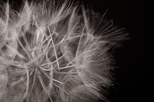 Close Up Detail Dandelion Seeds