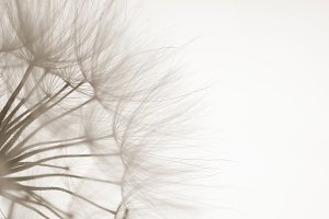 Close Up Dandelion Seeds Silhouetted