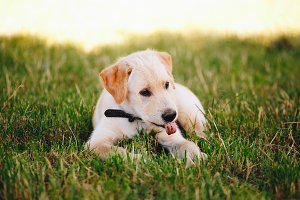 Puppy of a white, pale labrador retriever on green grass in a park in a black collar