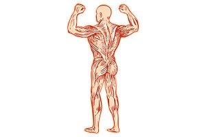 Human Muscular System Anatomy Etchin