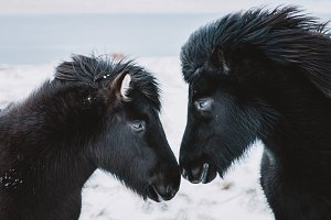 Two Black Icelandic Horses in Winter