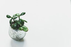 Small Jade Plant Succulent on White